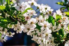 创建开花的高兴的心情春天的背景樱桃 免版税库存图片