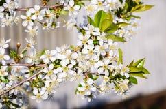 创建开花的高兴的心情春天的背景樱桃 免版税库存照片