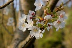 创建开花的高兴的心情春天的背景樱桃 图库摄影