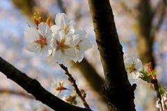 创建开花的高兴的心情春天的背景樱桃 库存图片