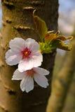 创建开花的高兴的心情春天的背景樱桃 库存照片