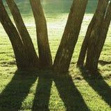 初夏早晨黎明,日出遮蔽了由后面照的公园树,明亮的Parkland草坪,大垂直的树干特写镜头 库存图片