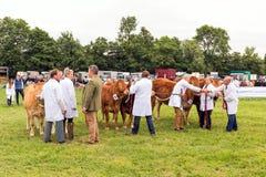 判断牛 免版税库存图片