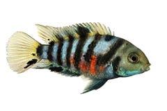 判罪丽鱼科鱼Amatitlania nigrofasciata斑马丽鱼科鱼水族馆鱼 免版税库存图片