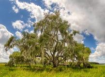 利夫奥克树在Myakka河国家公园萨拉索塔佛罗里达 库存照片