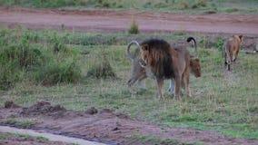 利奥和他的自豪感 狮子审查自豪感的疆土 股票视频
