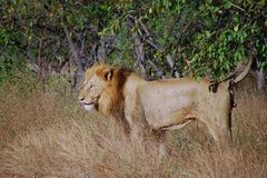 利奥狮子panthera 库存图片