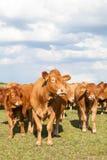 利姆辛与两头小牛的肉用牛在面对Th的晚上牧场地 免版税库存图片