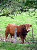 利姆辛公牛在Morvan地区,法国 免版税库存照片