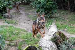 利比亚公狼 图库摄影