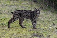 利比亚天猫座& x28; 天猫座pardinus& x29;在山脉莫雷纳& x28; Spain& x29; 库存图片