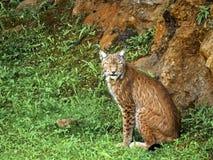 利比亚天猫座 库存照片