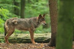 利比亚狼 免版税库存图片
