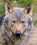 利比亚狼 免版税库存照片