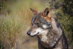 利比亚狼 库存照片