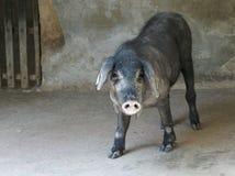 利比亚猪停转 库存图片