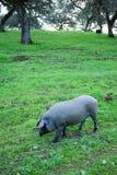 利比亚猪在草甸,西班牙 免版税图库摄影