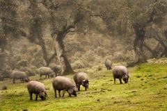 利比亚猪在草甸 免版税库存照片