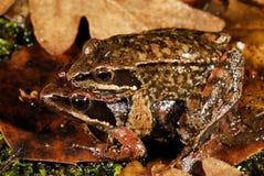 利比亚青蛙蛙属iberica在Trives,奥伦塞,西班牙池塘  图库摄影