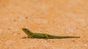 利比亚鲜绿色蜥蜴 免版税库存照片