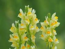 利纳里亚寻常的花,叫作黄色toadflax或蛋黄草类 免版税图库摄影