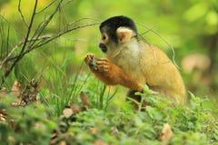 玻利维亚的松鼠猴子 图库摄影