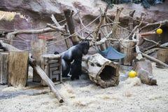 到处乱跑和使用在动物园里的一个大公黑和银色大猩猩 免版税图库摄影