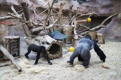 到处乱跑和使用在动物园里的一个大公黑和银色大猩猩 免版税库存照片