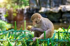 到处乱跑在密林的猴子,吃 小和大戏剧和取暖在阳光下 库存照片