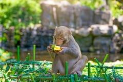 到处乱跑在密林的猴子,吃 小和大戏剧和取暖在阳光下 免版税库存照片