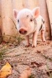 到处乱跑户外在f的一个逗人喜爱的泥泞的小猪的特写镜头 免版税库存图片
