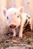 到处乱跑户外在f的一个逗人喜爱的泥泞的小猪的特写镜头 库存图片