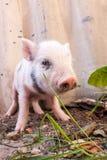 到处乱跑户外在f的一个逗人喜爱的泥泞的小猪的特写镜头 免版税库存照片
