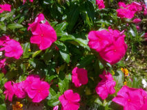 到处桃红色花! 库存照片