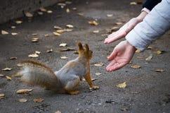 到达一只红松鼠的手坐走道在公园在秋天 免版税库存图片