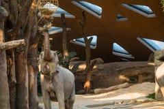 到达为与它的树干的食物的大象 免版税库存照片