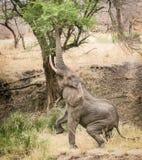 到达为叶子的大象 免版税库存照片