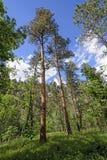 到达为天空的杉木 免版税库存图片