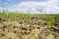 到达为太阳的麦子年轻新芽 免版税库存照片