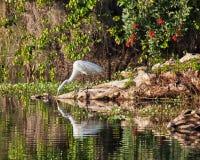 伟大的白色白鹭 库存照片