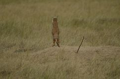 到达在太阳的草原土拨鼠 免版税图库摄影