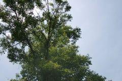 到达天空的夏天树 免版税库存照片
