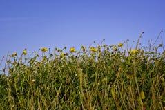 到达天空黄色的蓝色花 库存照片
