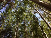 到达对天空的高大的树木 免版税库存图片