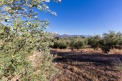 到达对天际的橄榄树在安达卢西亚 免版税库存图片