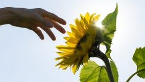到达往一个由后面照的向日葵的手 库存图片
