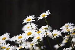 到达星期日的雏菊 免版税库存照片