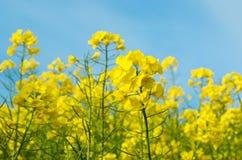 到达由天空决定的黄色油菜籽花 免版税库存图片