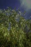 到达由本地植物决定一深天空蔚蓝的五颜六色的垂柳在西西里岛 免版税库存照片