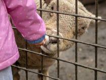 到达通过篱芭的白羊吃从孩子的食物 库存照片
